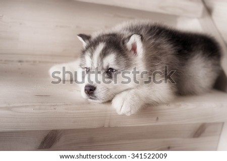 One puppy dog of siberian husky breed  on wooden floor with wood background  - stock photo