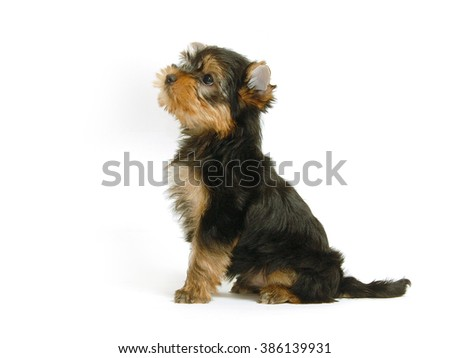 One puppy of the Yorkshire Terrier sits on white background