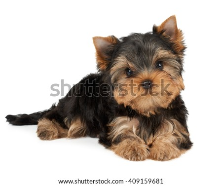 One puppy of the Yorkshire Terrier tilted head on white - stock photo