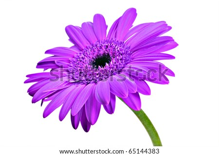 One purple daisy gerbera on a pure white background with space for text - stock photo