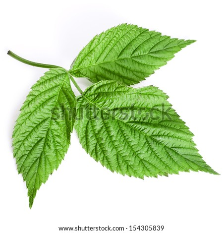 One raspberry green leaf surface close up macro isolated on white background  - stock photo