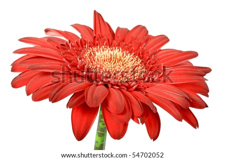 One red flower isolated on white background. Close-up. Studio photography.