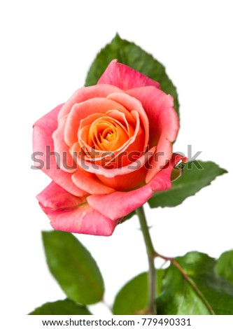 One red-orange rose isolated on white background