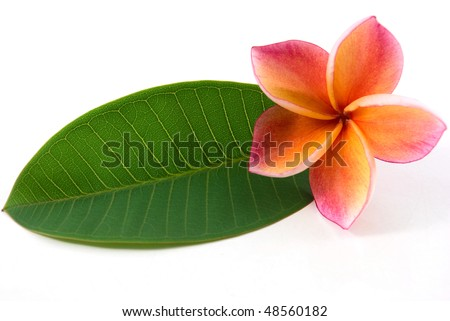 one red plumeria on  leaves - stock photo