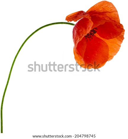 One red poppy flower close up  isolated on a white background - stock photo