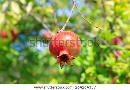 One red ripe pomegranate on a tree - stock photo