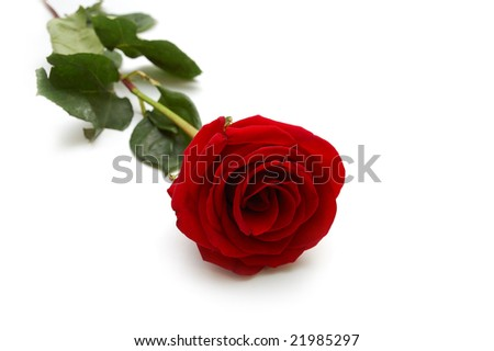 One red rose - stock photo