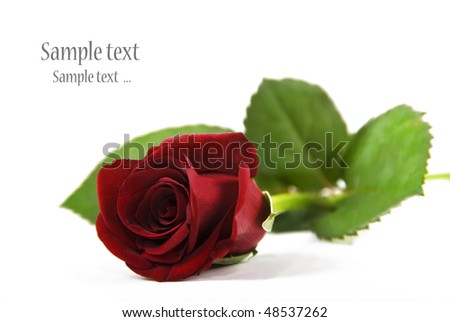 One red rose on a white background with space for text - Shallow depth of field - stock photo