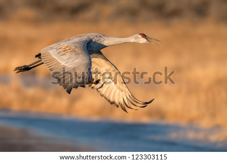 One sand hill crane (Grus canadensis) in flight at Bosque del Apache National Wildlife Refuge - stock photo