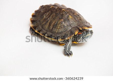 One sea red-eared sliders on a white background