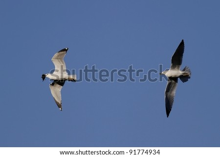 One seagull chasing another seagull to try and steal the little fish it just caught. - stock photo