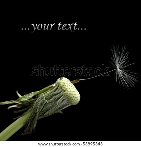 One seed on dandelion, isolated on black - stock photo