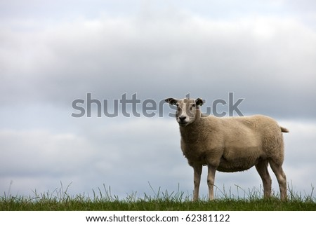 one sheep in grassland - stock photo