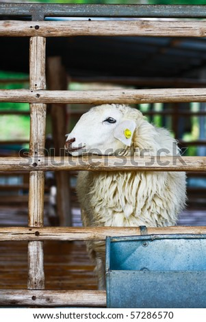 One sheep is trying to go out from the cage at farm in Ratchburee of Thailand