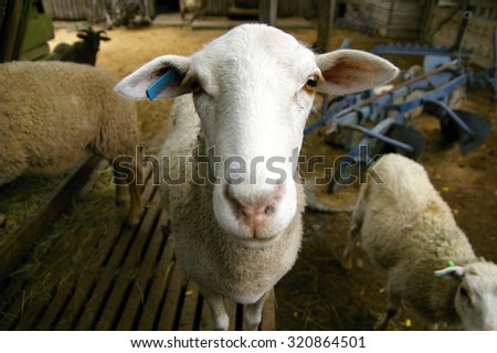 One sheep looking