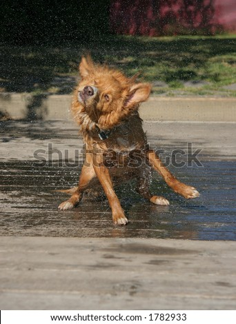 One shot in a series of a dog shaking after a swim