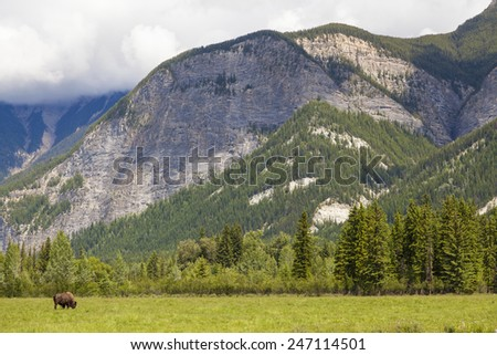 One single American Bison (Bison Bison) or Buffalo alone by mountains - stock photo