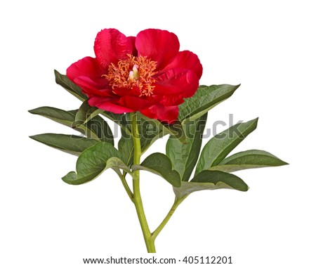 One single flower stem and leaves of bright red peony (Paeonia lactiflora) cultivar Burma Ruby isolated against a white background - stock photo