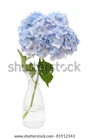 One single hydrangea in a glass vase on a white background