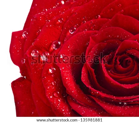 One single red rose bud close up macro shot with water drops isolated on white - stock photo
