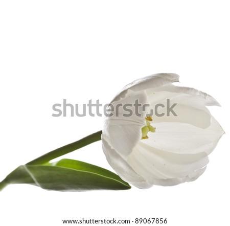 one single white tulips macro  isolated on white - stock photo