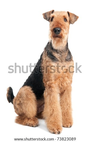 One sitting Black brown Airedale Terrier dog isolated on white - stock photo