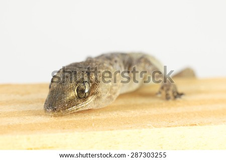One Small Gecko Lizard and Wood on a White Background - stock photo