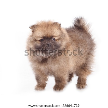 One small puppies on a white background. Spitz puppies. Pomeranian puppy dog on white background. Spitz dog on white background. Very small breed dog puppies.