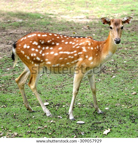 One Spotted deer on the field