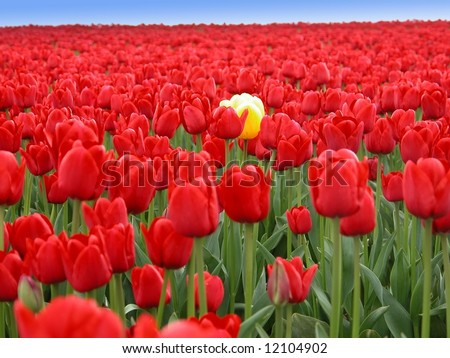 One striking yellow tulip in a sea of thousands of red tulips. - stock photo