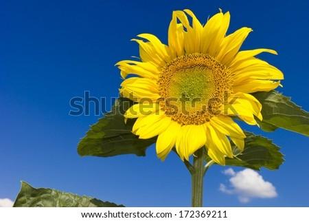 One sunflower over blue sky background - stock photo