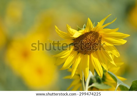 One thread sunflower on the field - stock photo