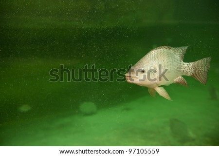 One tilapia fish swimming in a pond