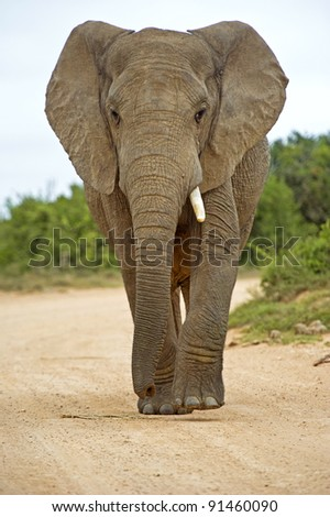 One Tusk Elephant - stock photo