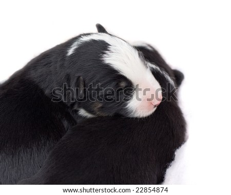 one week old border collie puppies sleeping - stock photo