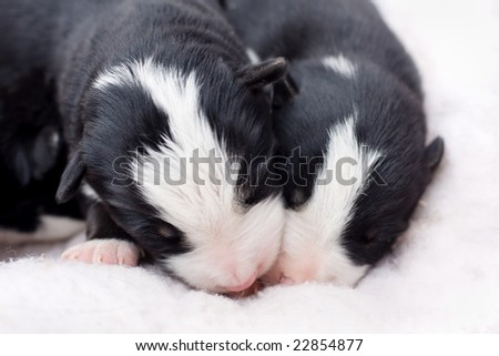 one week old border collie puppies sleeping together - stock photo