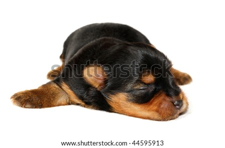 One week old puppy of the Yorkshire Terrier - stock photo