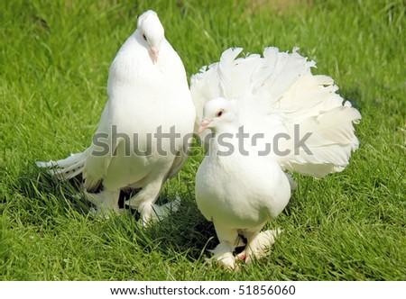 one white cock pigeon advertises around a female - stock photo