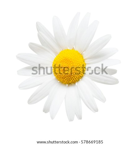 One white daisy flower isolated on white background. Flat lay, top view