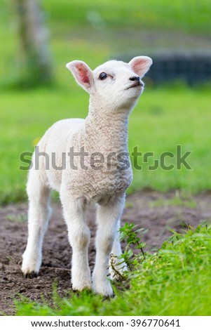 One white newborn lamb standing in green grass during spring season
