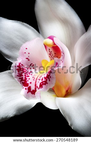 One white orchid flower with purple, red, pink and yellow fragments isolated on black  - stock photo