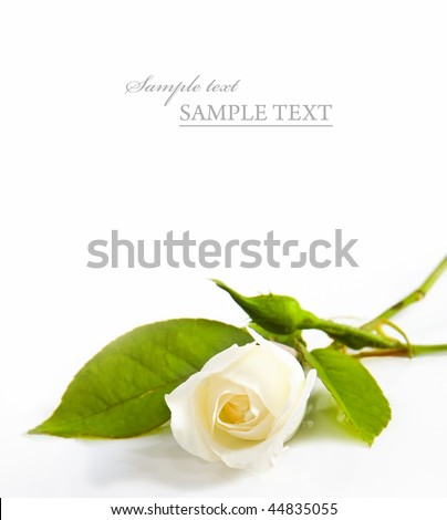 One white rose on a white background with space for text - stock photo