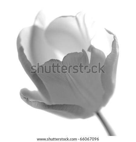 one white tulip on white monochrome - stock photo
