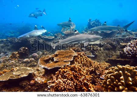 One whitetip and three blacktip sharks shouted underwater in native blue environment with coral reef - stock photo