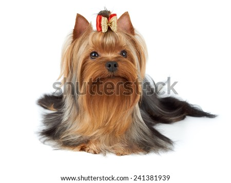 One wonderful Yorkshire Terrier isolated on white - stock photo