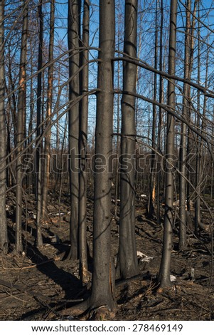 One year after a big forest fire in Sweden  - stock photo