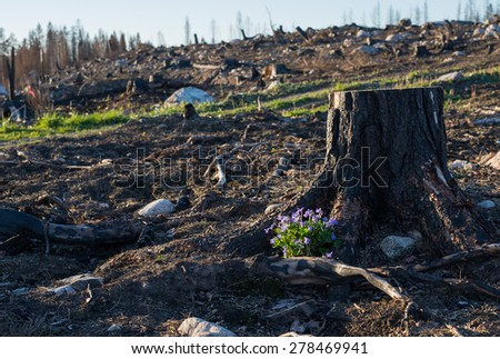 One year after a big forest fire in Sweden with new green already sprout among charred logs - stock photo