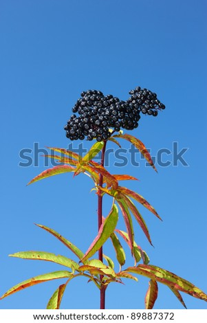 One-year herbaceous elder top with ripe berries against a blue sky. Perennial herb with creeping rhizome. Latin name: Sambucus ebulus, family: Caprifoliaceae