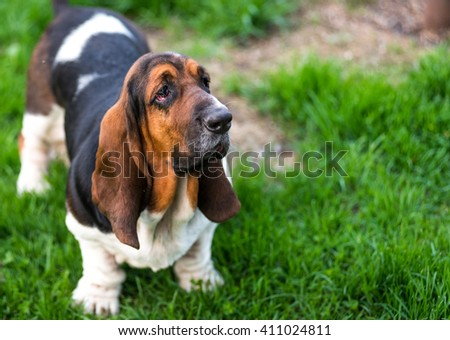 One year old Basset hound (Canis lupus familiaris) in the yard of a hobby farm.  Dark toned slobbery dog with floppy ears and sad droopy eyes on a hobby farm in Ontario, Canada.  - stock photo