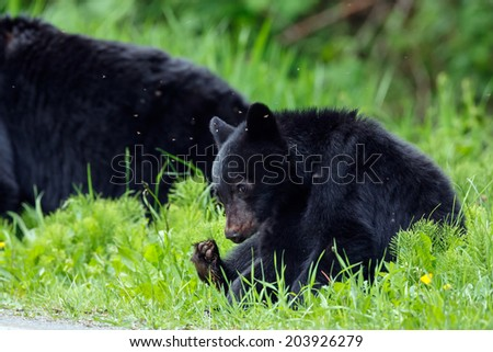 One year old black bear cub in a strange position.